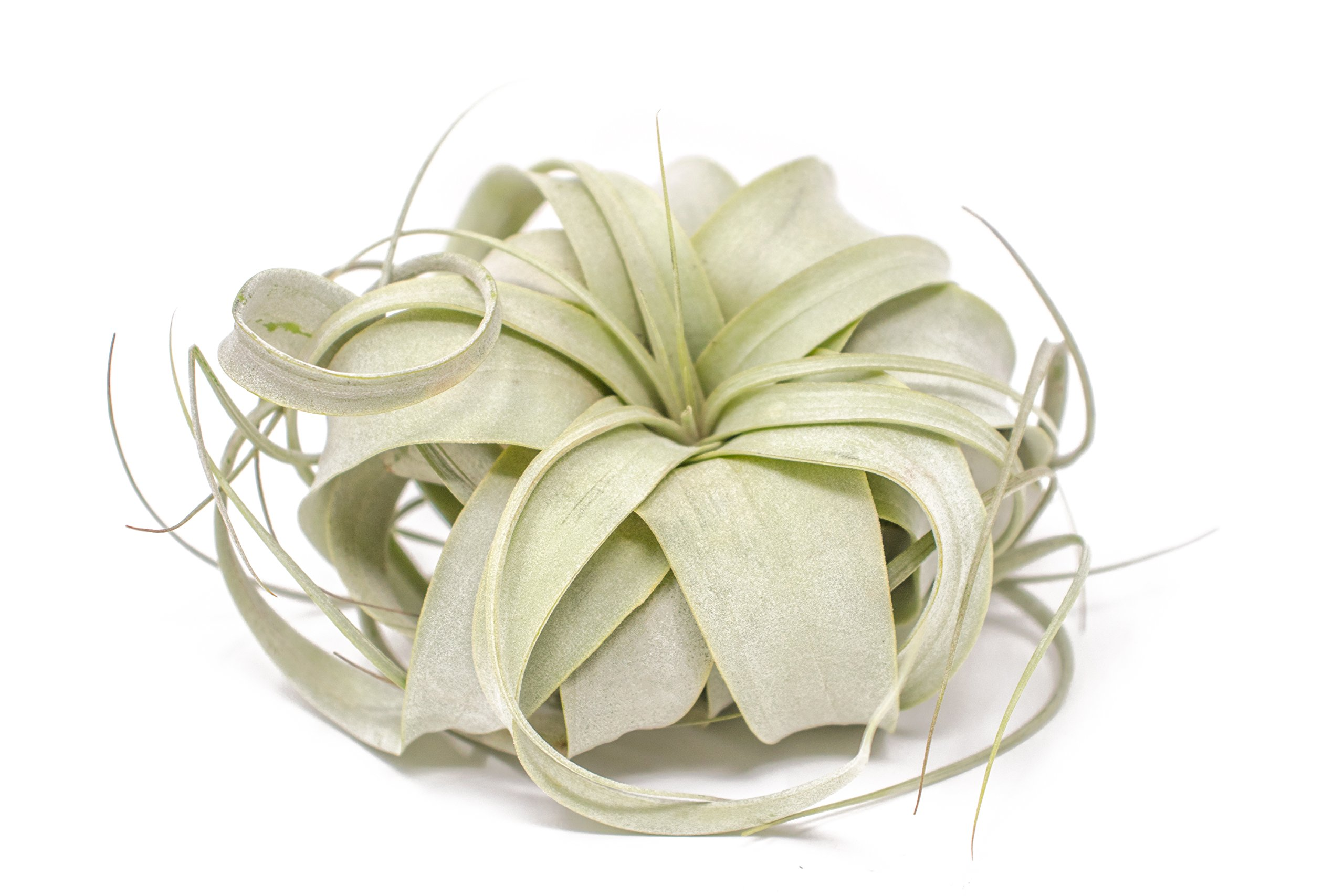 Tillandsia Xerographica Air Plant |Live Tropical Houseplant Decor for Terrarium Holder /Wedding Favors | Large Exotic Airplant -by Plants for Pets