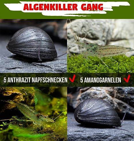 Antialgas Gang – La unschlagbaren algas fresser en acuario – 5 x neritina pulligera & 5