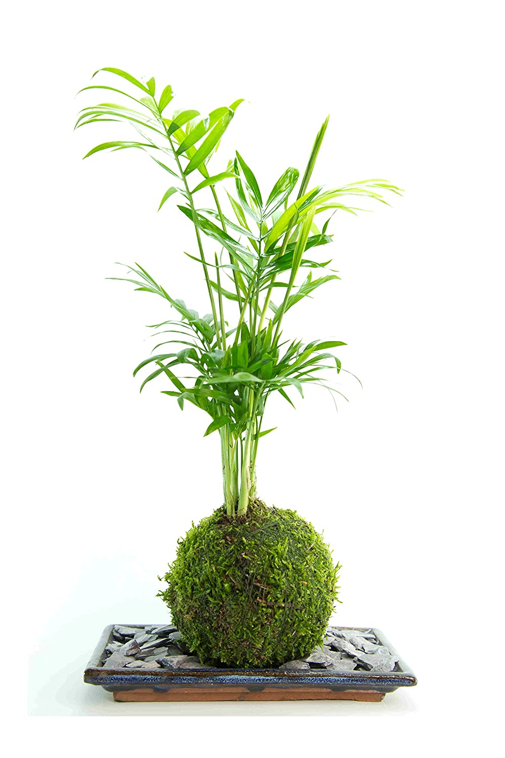 Palm Tree - Live, Kokedama Indoor House Plant with/Plate and Slate - 25cm high Tranquil Plants