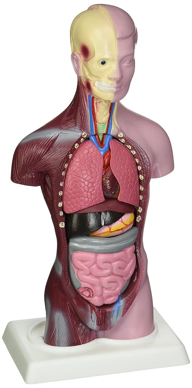 Budget Little Joe Miniature Human Anatomy Torso Model Amazon