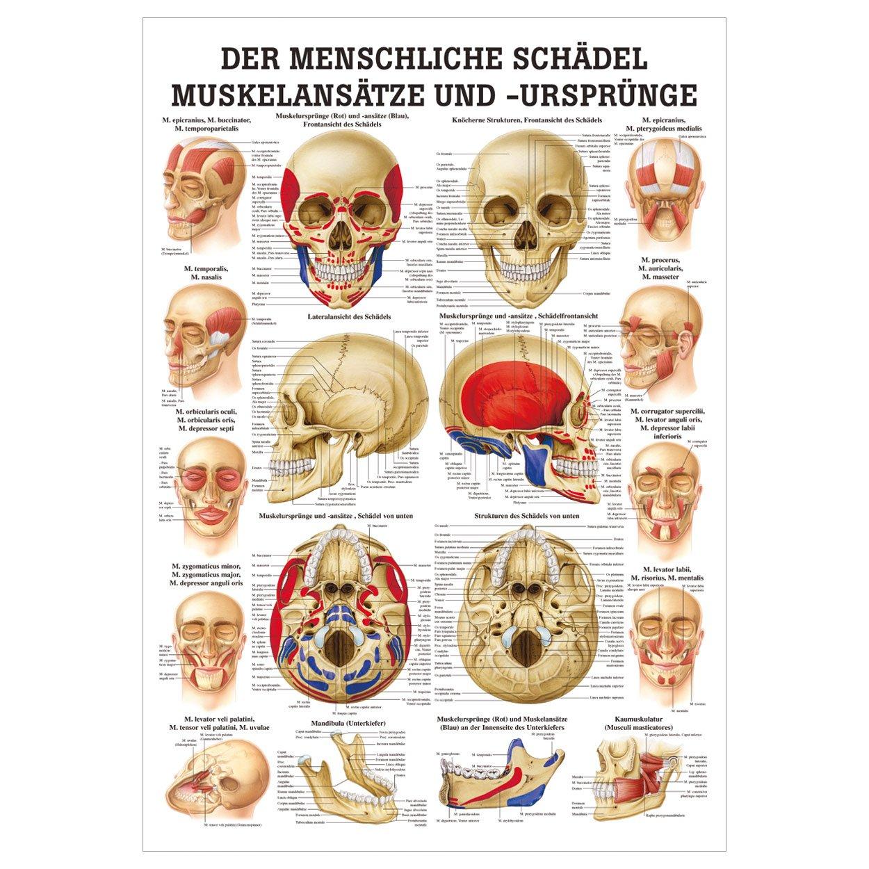 Wunderbar Menschlicher Schädel Anatomie Und Physiologie Fotos ...