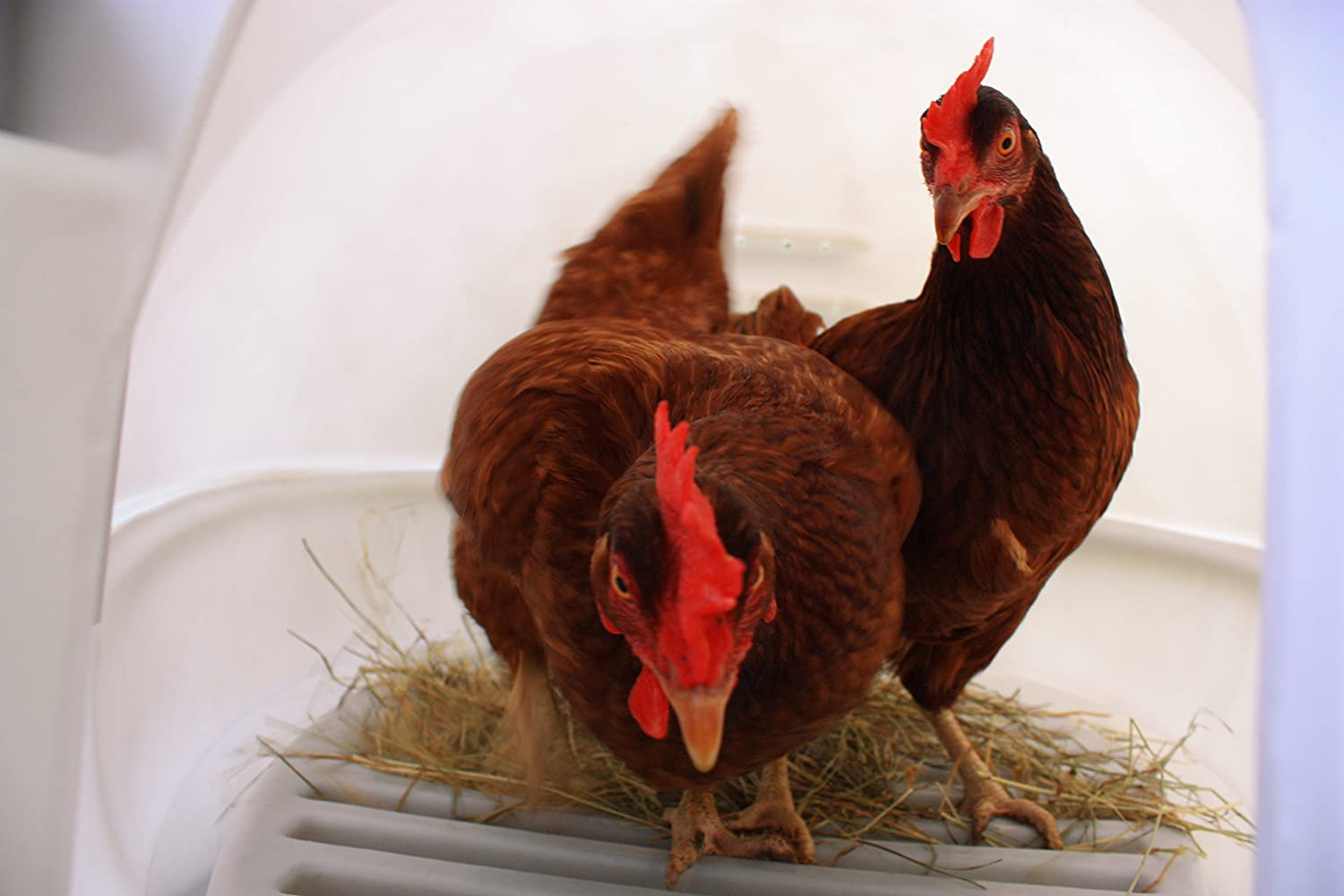 Galline all'interno del pollaio innovativo Eglu