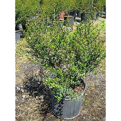 Viburnum obovatum, Walters Viburnum - 7 Gallon Live Plant : Garden & Outdoor