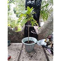 Las semillas orgánicas: 1 mamey fresco 24