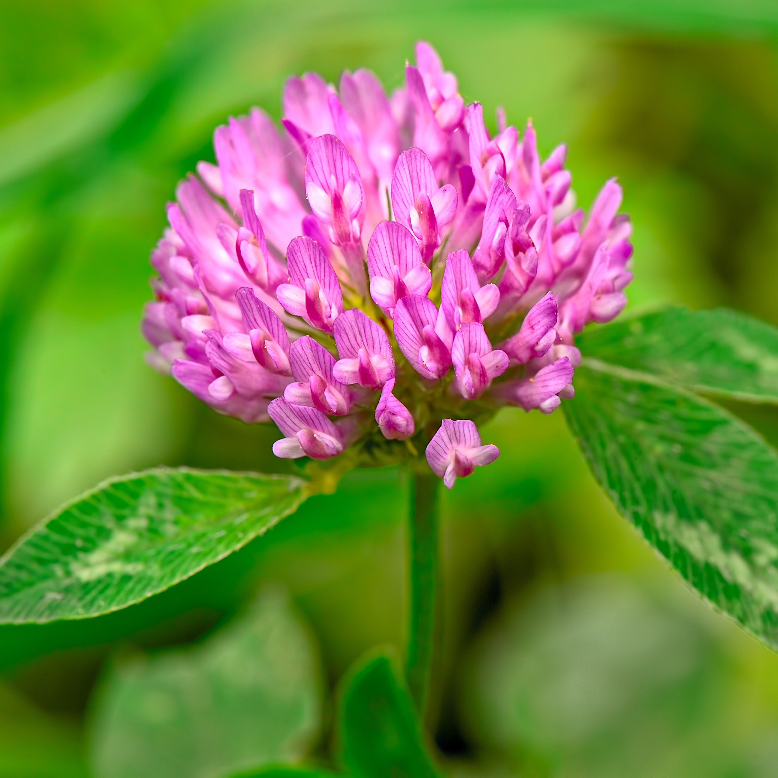 Outsidepride Red Clover Seed: Nitro-Coated, Inoculated - 5 LBS by Outsidepride (Image #3)
