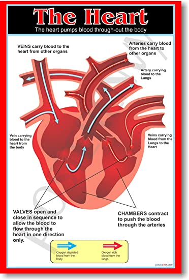 Amazon.com: The Heart - Educational Classroom Science Biology ...