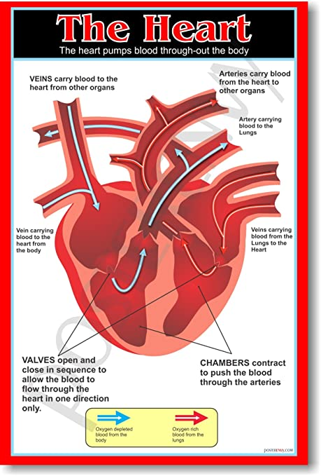 The Heart - Educational Classroom Science Biology Anatomy Poster ...