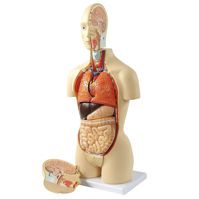 Cranstein A-437 Mini Torso (Menschliche Anatomie), 16 Teile ...