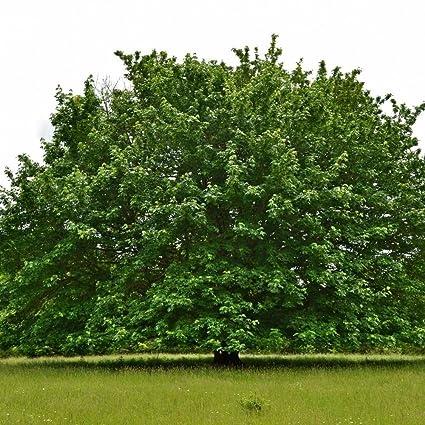Amazoncom Bigleaf Maple Acer Macrophyllum 15 Seeds Garden Outdoor