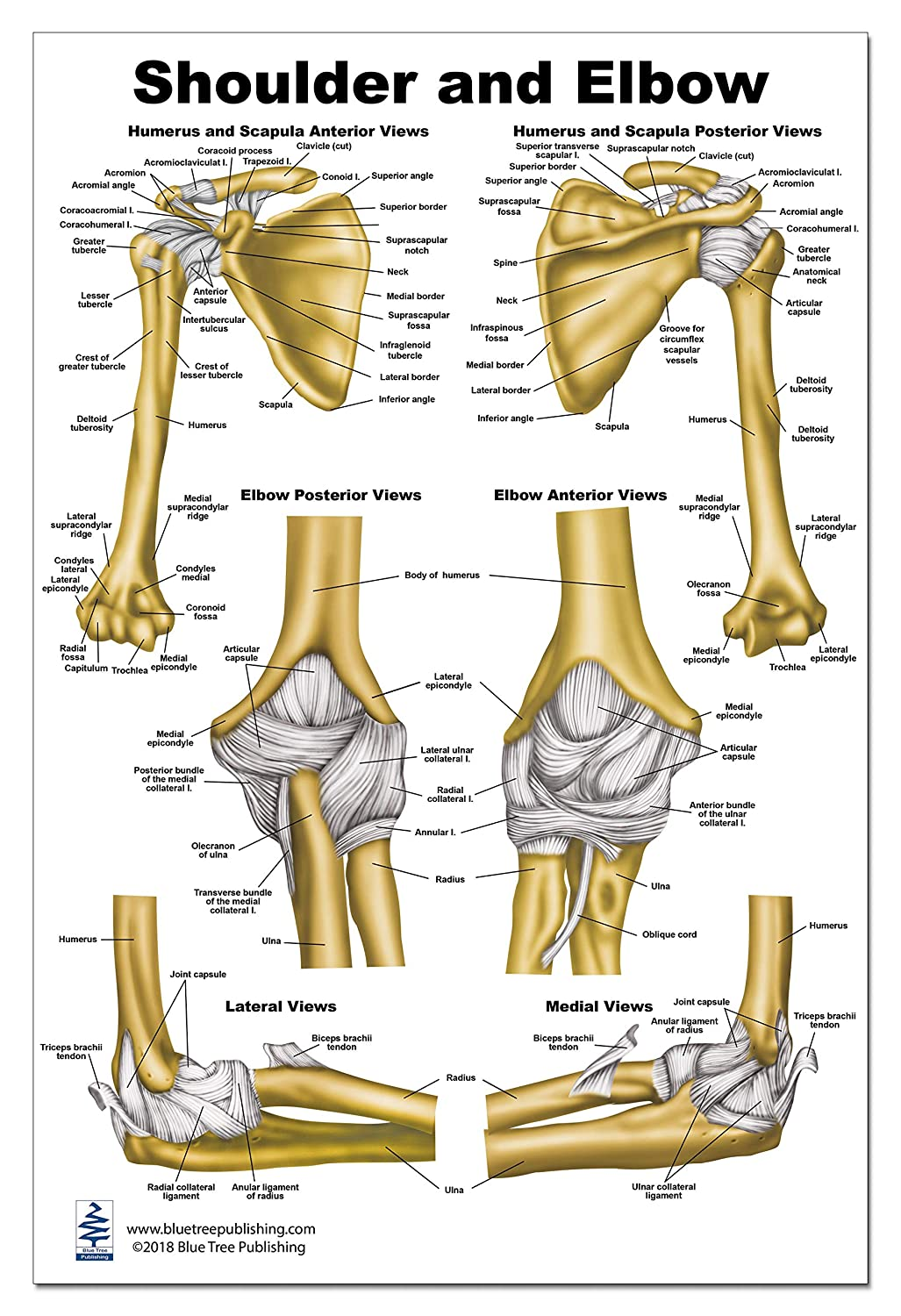 Shoulder And Elbow Anatomy Poster 24x36 Amazon Industrial