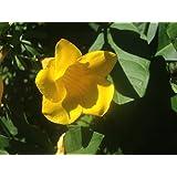 Amazon brown bud allamanda hendersonii vine live plant tropical yellow bush allamanda live semi tropical plant shrub golden trumpet flower fast growing perennial starter mightylinksfo