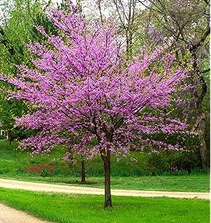 Amazon 1 gallon redbud tree gorgeous purple flowers in spring new life nursery garden eastern redbud tree cercis quart pot mightylinksfo