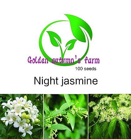 Plants, Seeds & Bulbs BUY 3 GET 2 FREE Night-flowering Jasmine SEEDS 100pcs Seeds Potted Plants