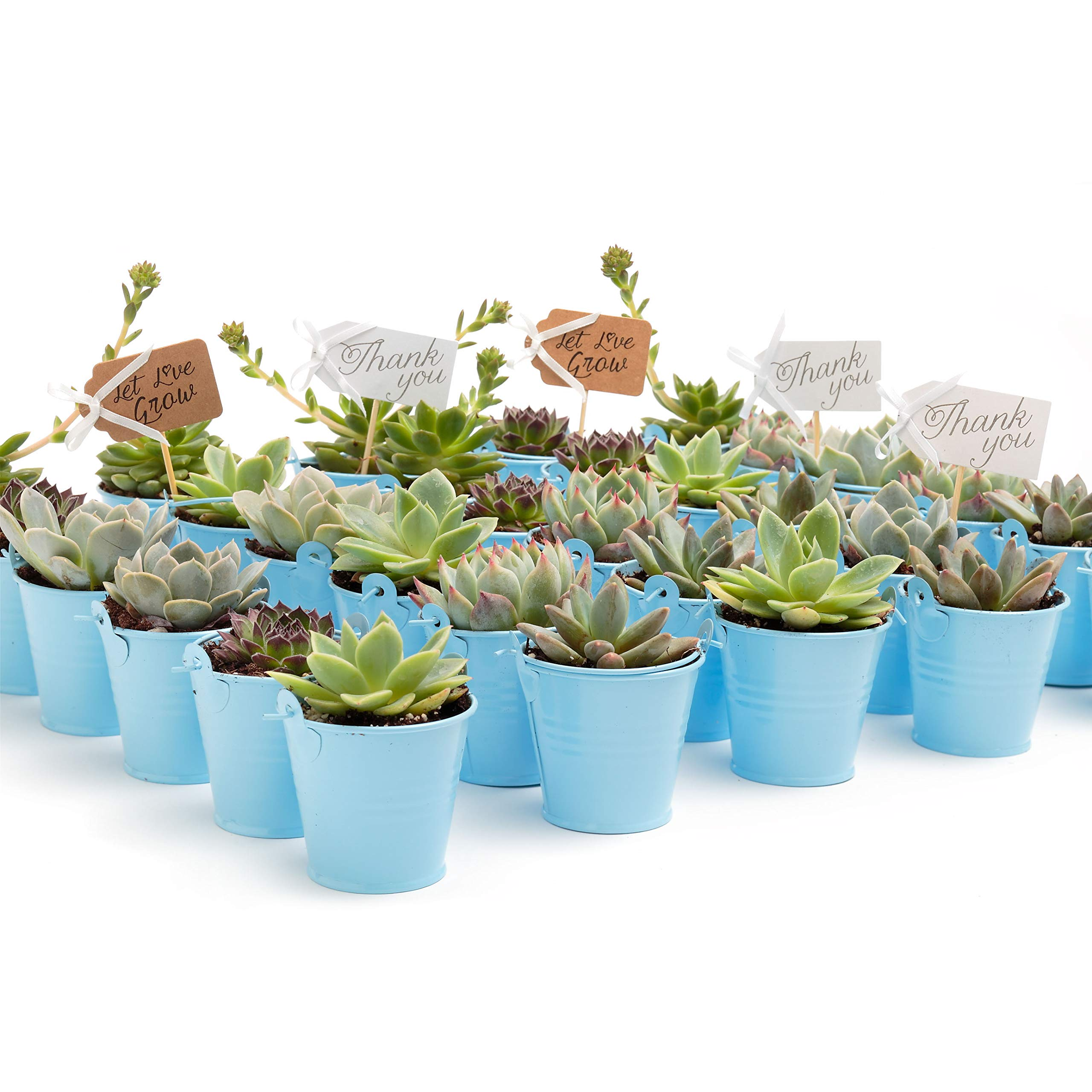2 in. Wedding Event Rosette Succulents with Blue Metal Pails and Thank You Tags (30) by Succulent Source (Image #1)