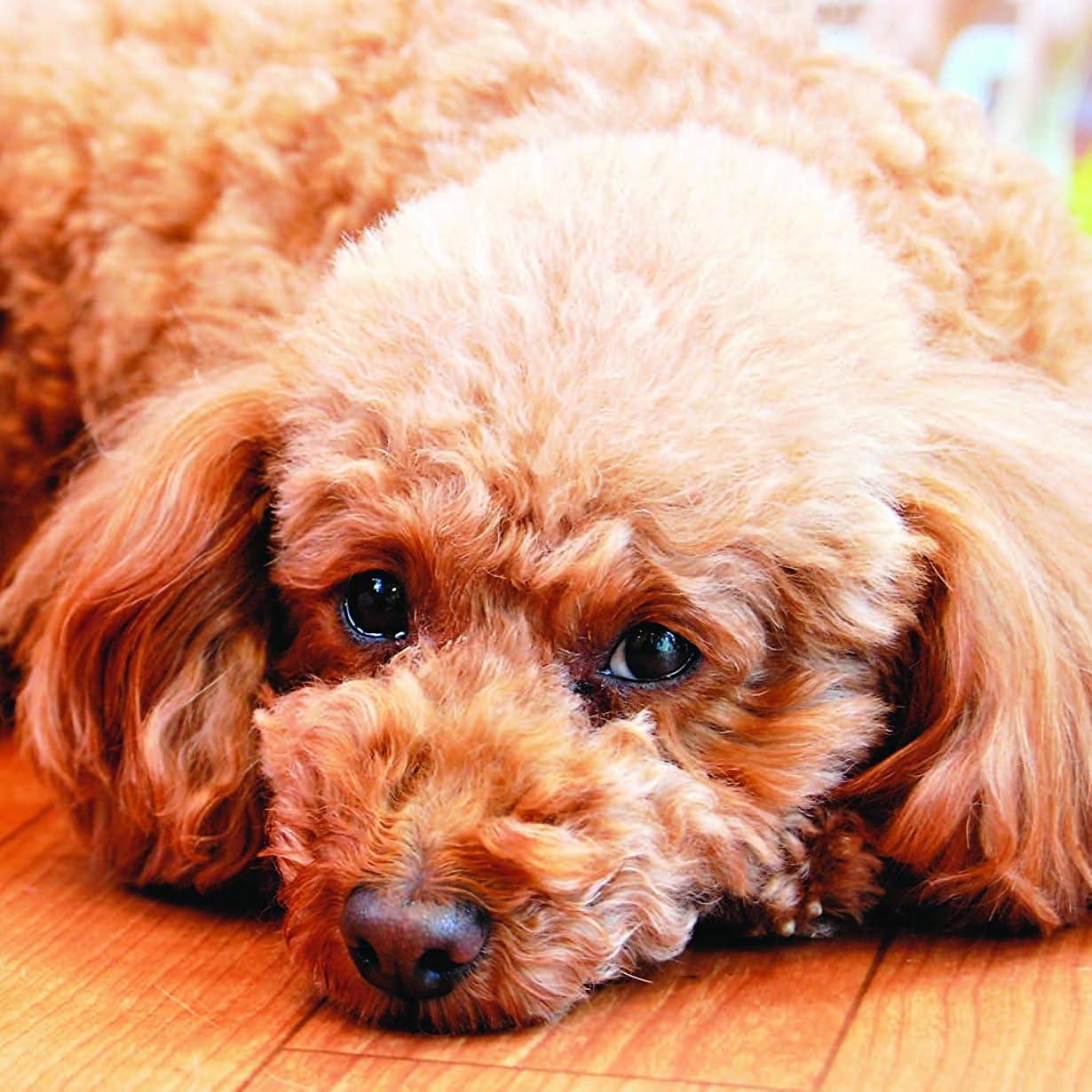 犬 Ipad壁紙 トイプードル 令和動物カレンダー その他 スマホ用画像100922