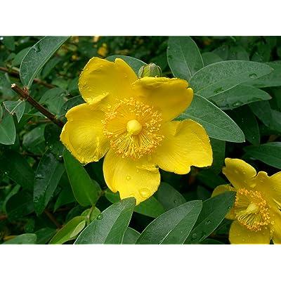 Live St. Johnswort aka Hypericum patulum 'Hidcote' Plant Fit 1 Gallon Pot : Garden & Outdoor