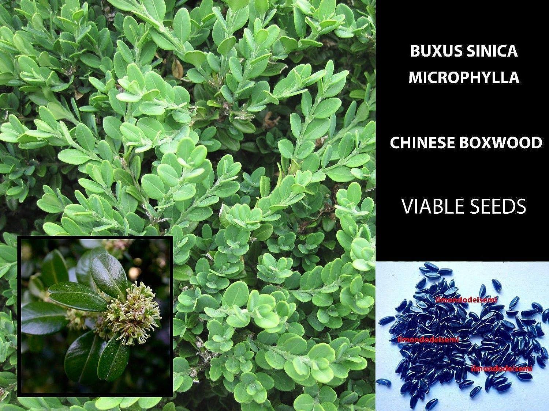 ScoutSeed 50 semi/semillas: BUXUS SINICA MICROPHYLLA SEMI - BOSSO - CHINESE BOXWOOD SEMILLAS DE ALTA CALIDAD VERDADERAS