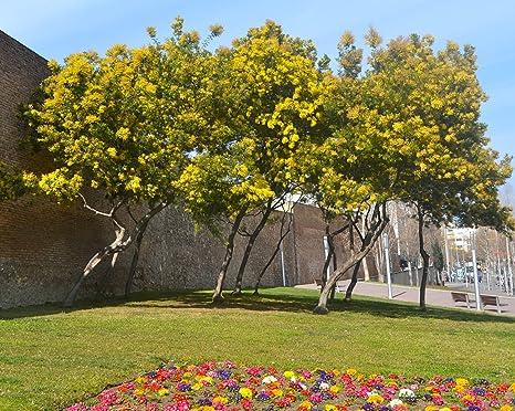 25 graines de Mimosa dhiver terrasse et balcon jardin Acacia ...