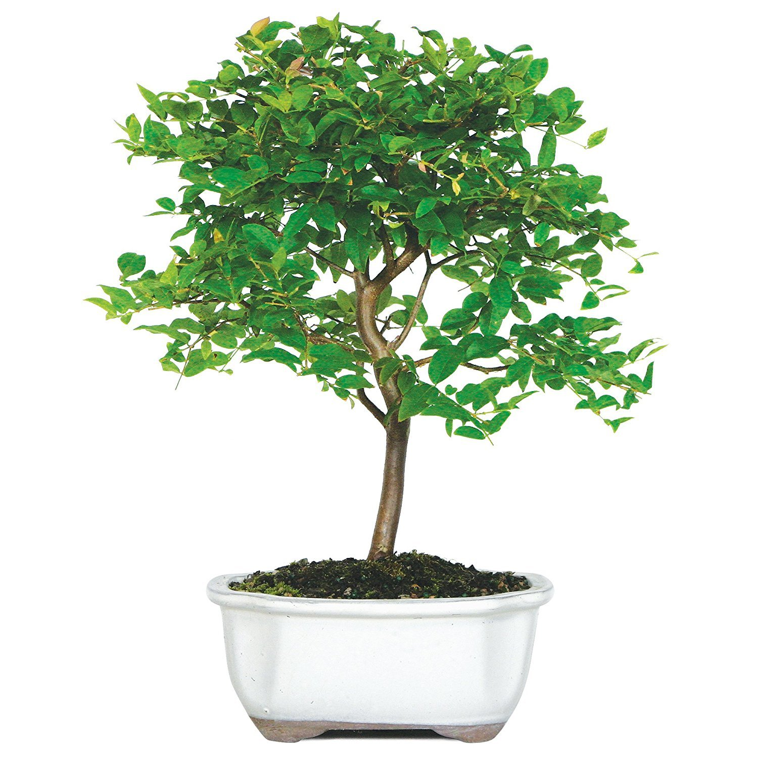 Brussels Live Fukien Tea Indoor Bonsai Tree 6 Years Old; 6 to 10 Tall with Decorative Container