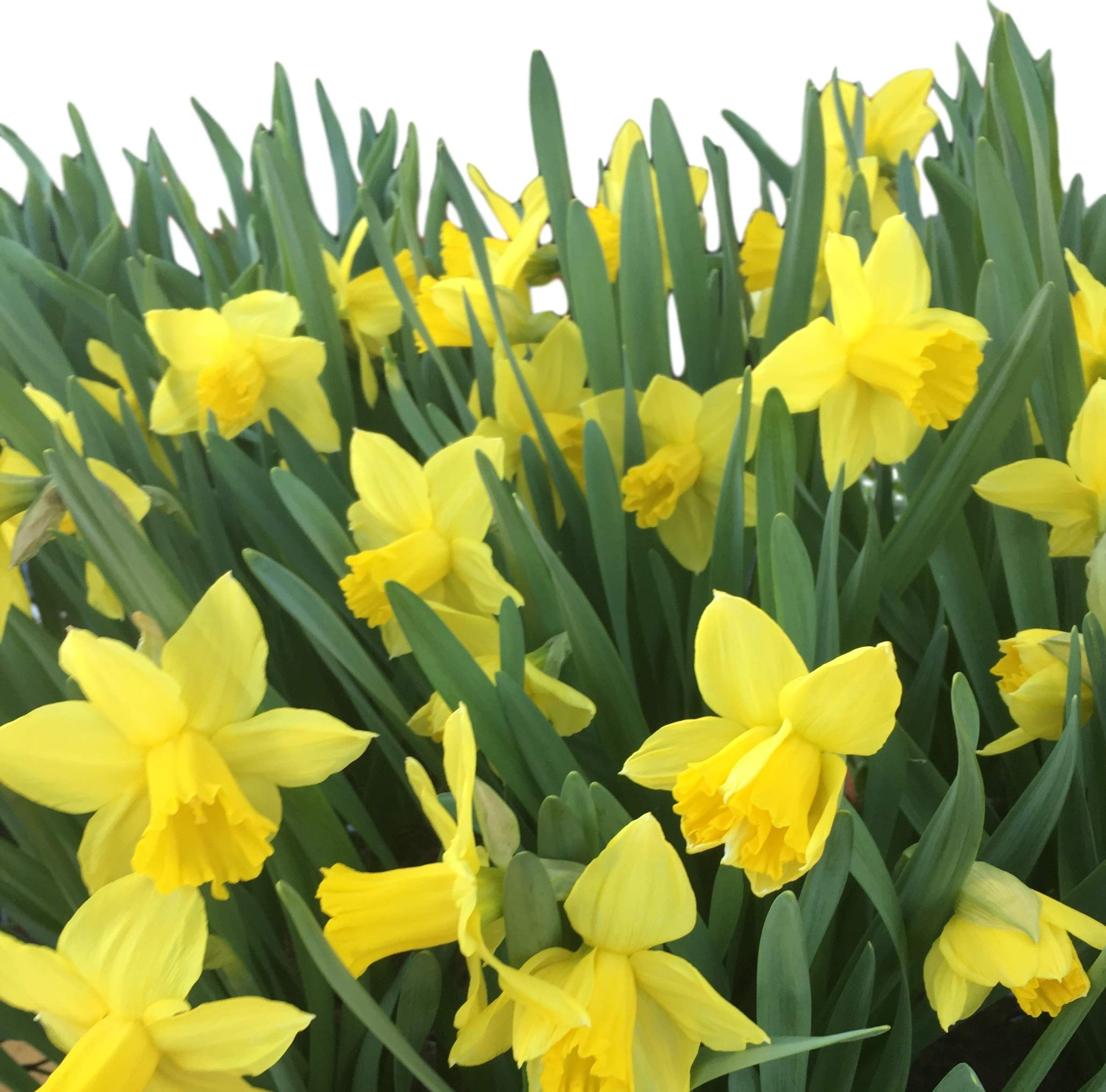 Dutch Master Daffodil 100 Bulbs -Deer & Rodent Resistant - 12/14 cm Bulbs by Daylily Nursery