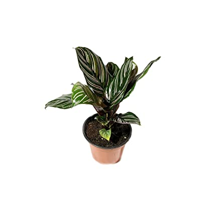 Pin Stripe Calathea - Live Plant in a 4 Inch Pot - Calathea Ornata - Beautiful Easy to Grow Air Purifying Indoor Plant : Garden & Outdoor