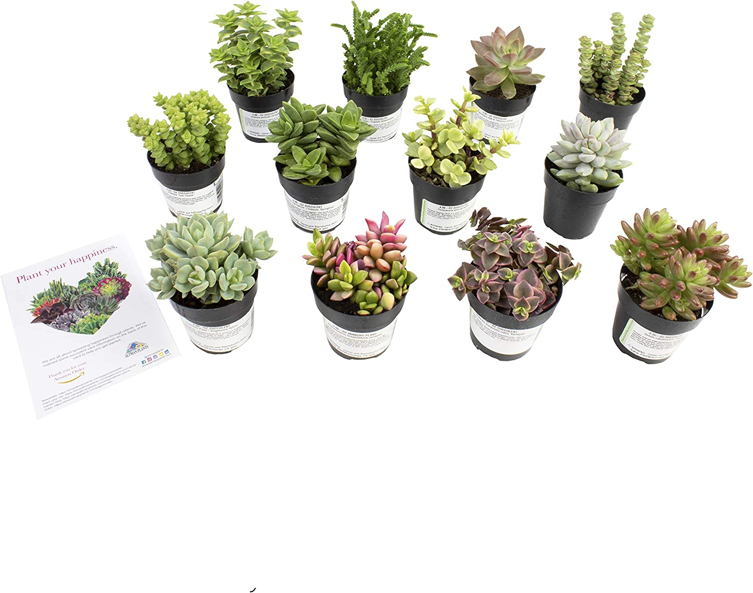 "Altman Plants, Live Succulent Plants Fairy Garden Kit (12 Pack) Assorted 2.5"" Potted Succulents Plants Live House Plants, Cacti in Planter Pots, Cactus Plants Live Indoor Plants Live Houseplants"