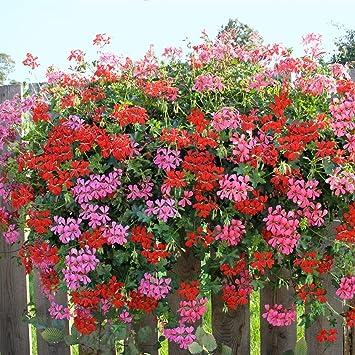 Dominik Blumen Und Pflanzen Geranien Hangend 6 Pflanzen Rot 6