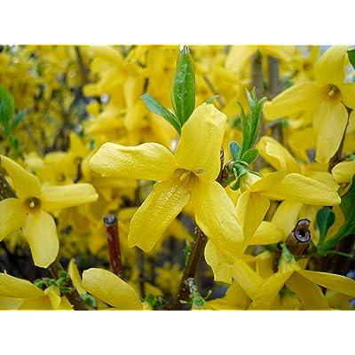 20 Seeds Forsythia Suspensa Weeping Forsythia Yellow Flowers Shrub Garden tkgre : Garden & Outdoor