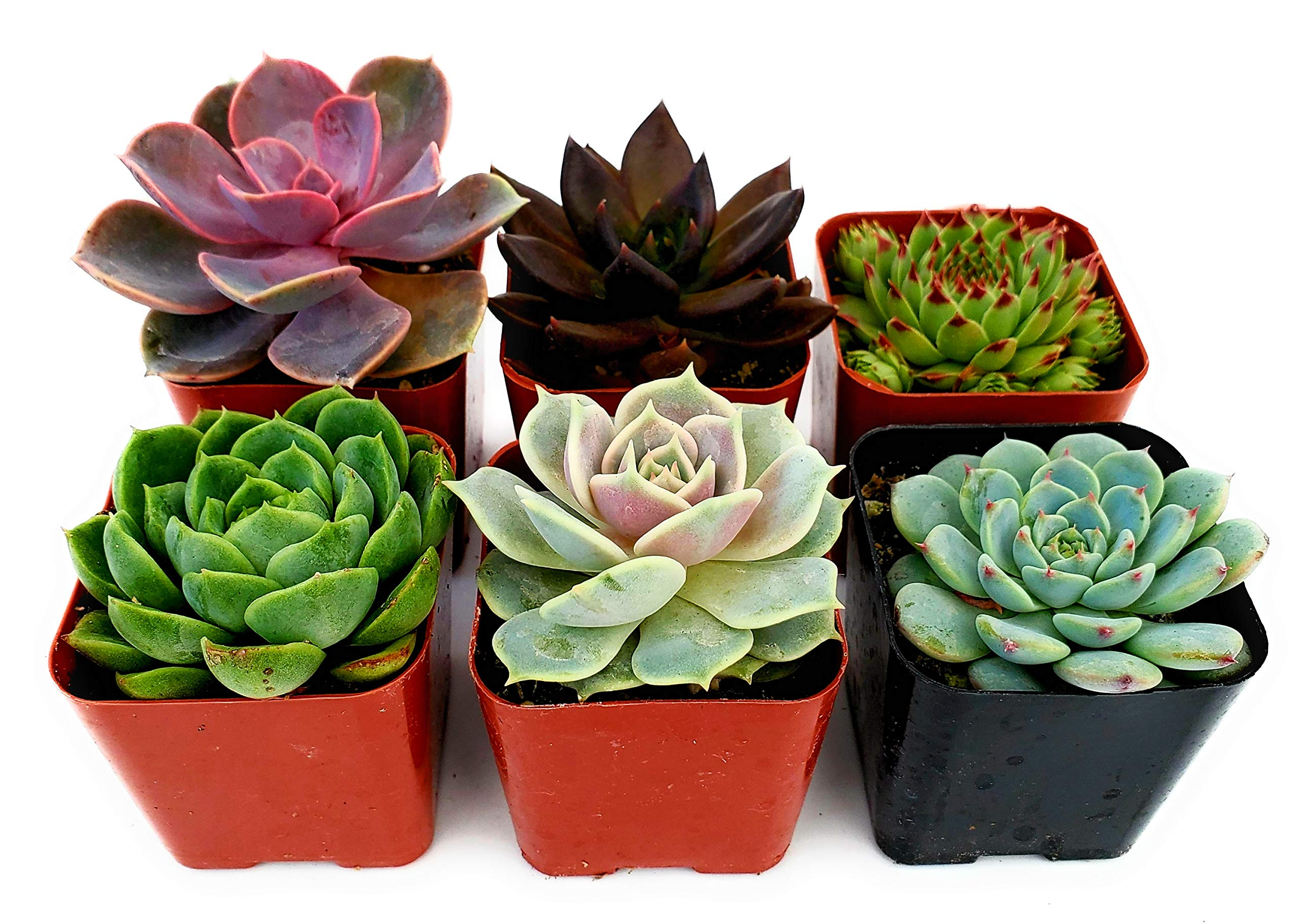 Fat Plants San Diego All Rosette Succulent Plants in 2 Inch Pots (6)