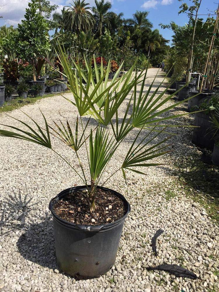 Amazon.com: Thrinax morrisii, palma de llavero – Planta de 7 ...