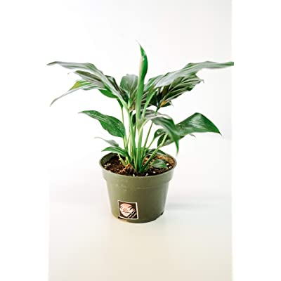 Pacific Tropicals &Succulents – Peace Lily Plant Spathyphyllium-Live Indoor Plant -Height -Ships in 4 inch Grow Pot-Homegrown : Garden & Outdoor