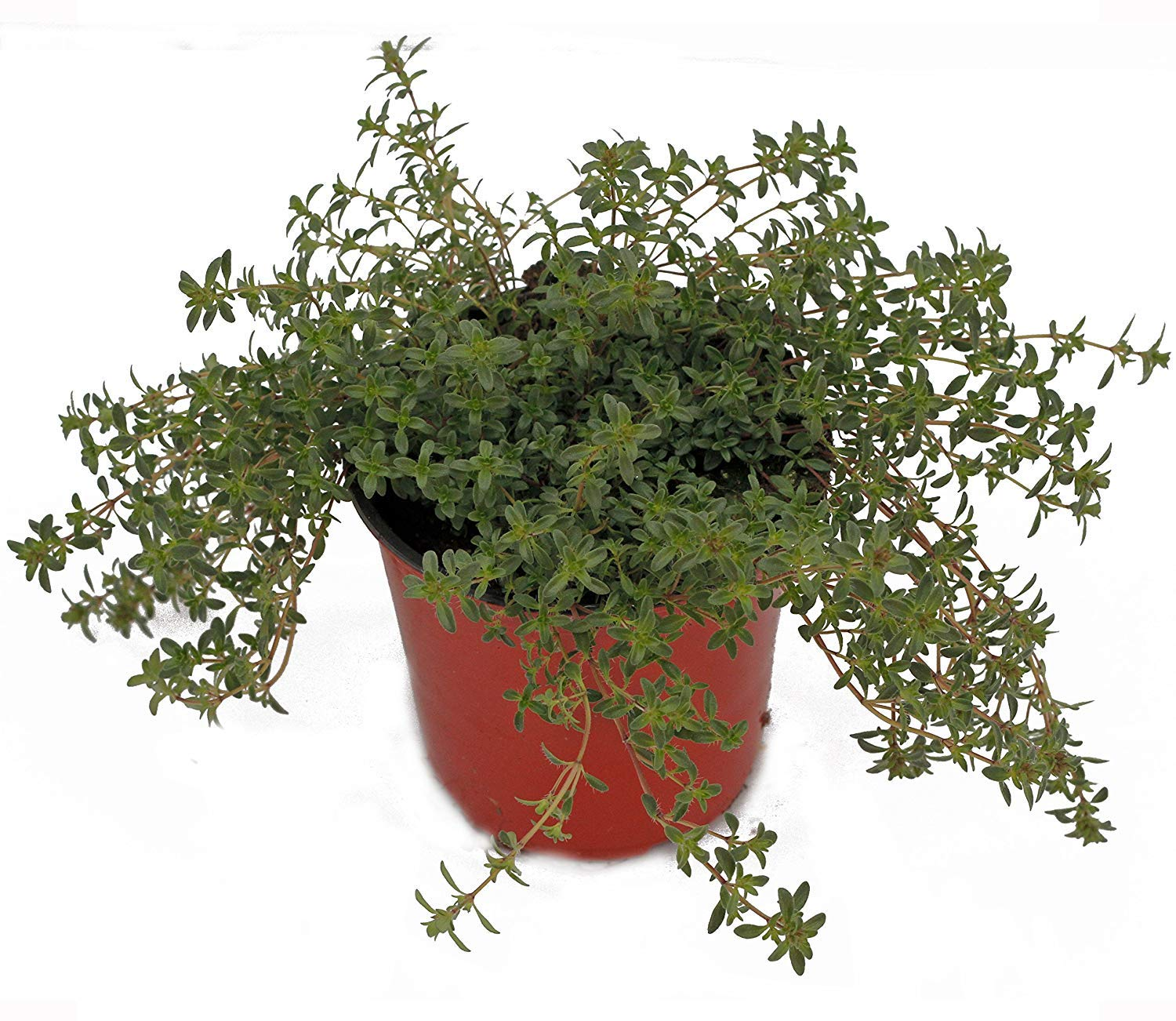 Thyme 'Creeping Red' Herb Plant (Pack of 12) by Dutch Country Classics (Image #1)