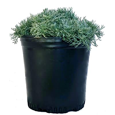 Artemisia schmidtiana 'Silver Mound' (Wormwood) Perennial, fine silver foliage, #1 - Size Container : Garden & Outdoor