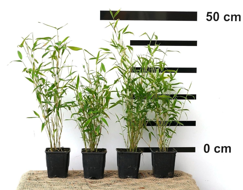 4 x Bambus Fargesia Jumbo winterhart und schnell-wachsend 30-40 cm hoch