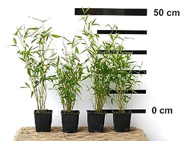 12 X Bambus Fargesia Jumbo Winterhart Und Schnell Wachsend 30 40 Cm