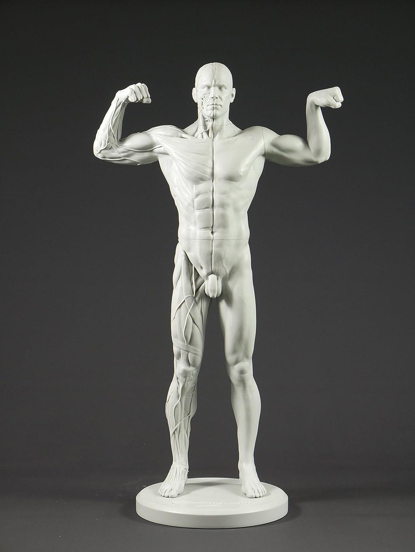 Macho adaptable anatomía figura: 13.4-inch referencia anatómicas ...