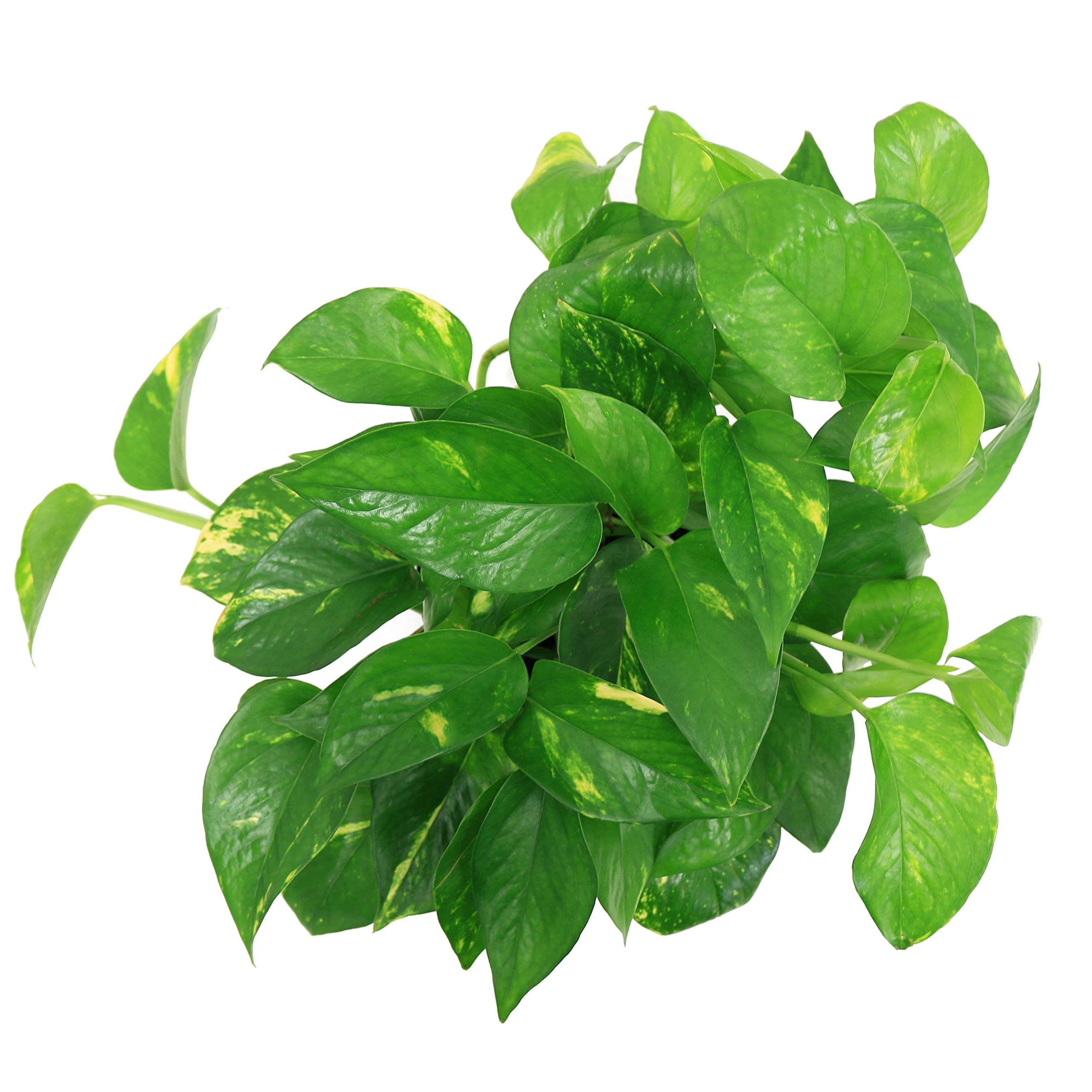 Costa Farms Golden Pothos Devil's Ivy Live Indoor Plant, 6-Inch, Ships in Grower's Pot by Costa Farms (Image #2)