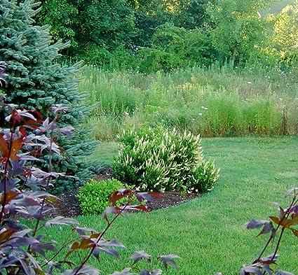 Amazon.com : Clethra ALNIFOLIA \'Hummingbird\' : Garden & Outdoor
