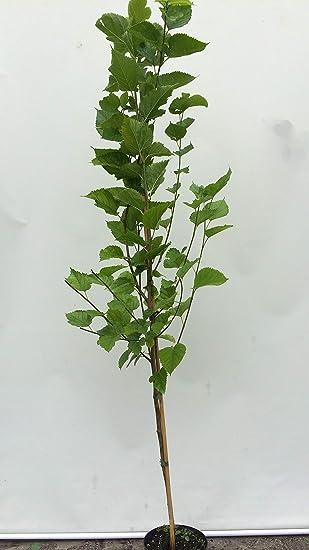 Saatgut Bidens ferulifolia Zweizahn Goldmarie Chrestensen AR8277