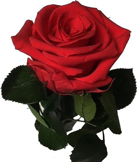 konserviert Rosenblüte x 6 rot preserved Rose 8-8,5 cm Premium klassisch