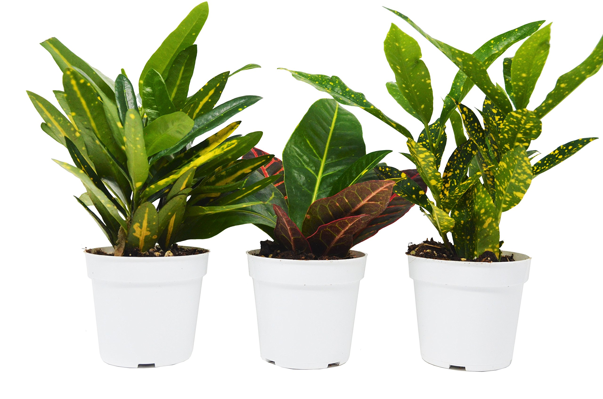 3 Croton Plant Variety Pack - All Different Species - Live Plants - FREE Care Guide - 4'' Pot