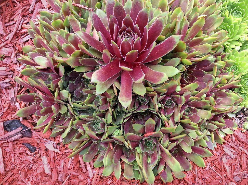 LIVE PLANTS From My Garden Hens & Chicks Sempervivum