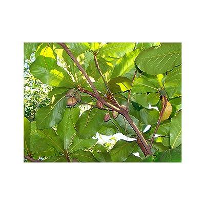 Chebulic Myrobalan Haritaki Tree 5 Seeds Aromatic Specimen Houseplant Greenhouse Tropical Gardening From South Asia RARE! Terminalia chebula (5) : Garden & Outdoor