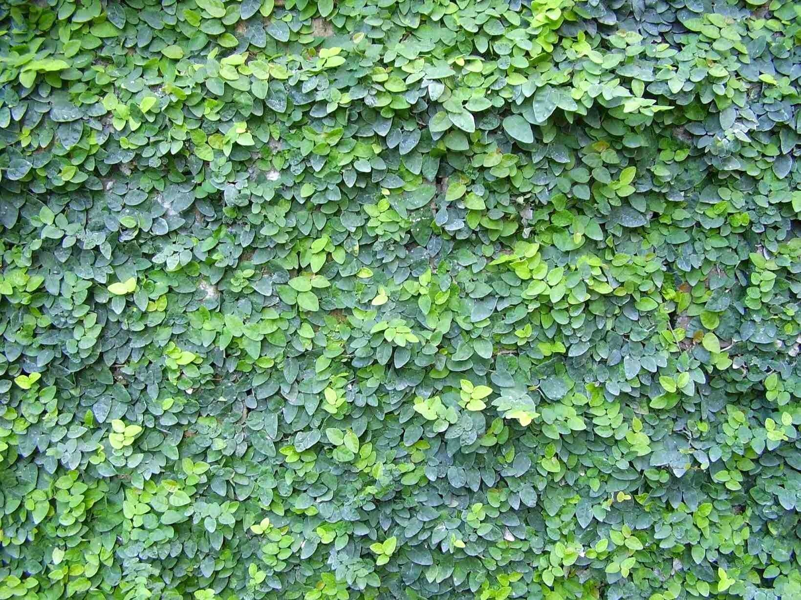 Creeping Fig Vine - Ficus Pumila - 10 Live Fully Rooted Plants - Climbing Ivy by Florida Foliage (Image #7)