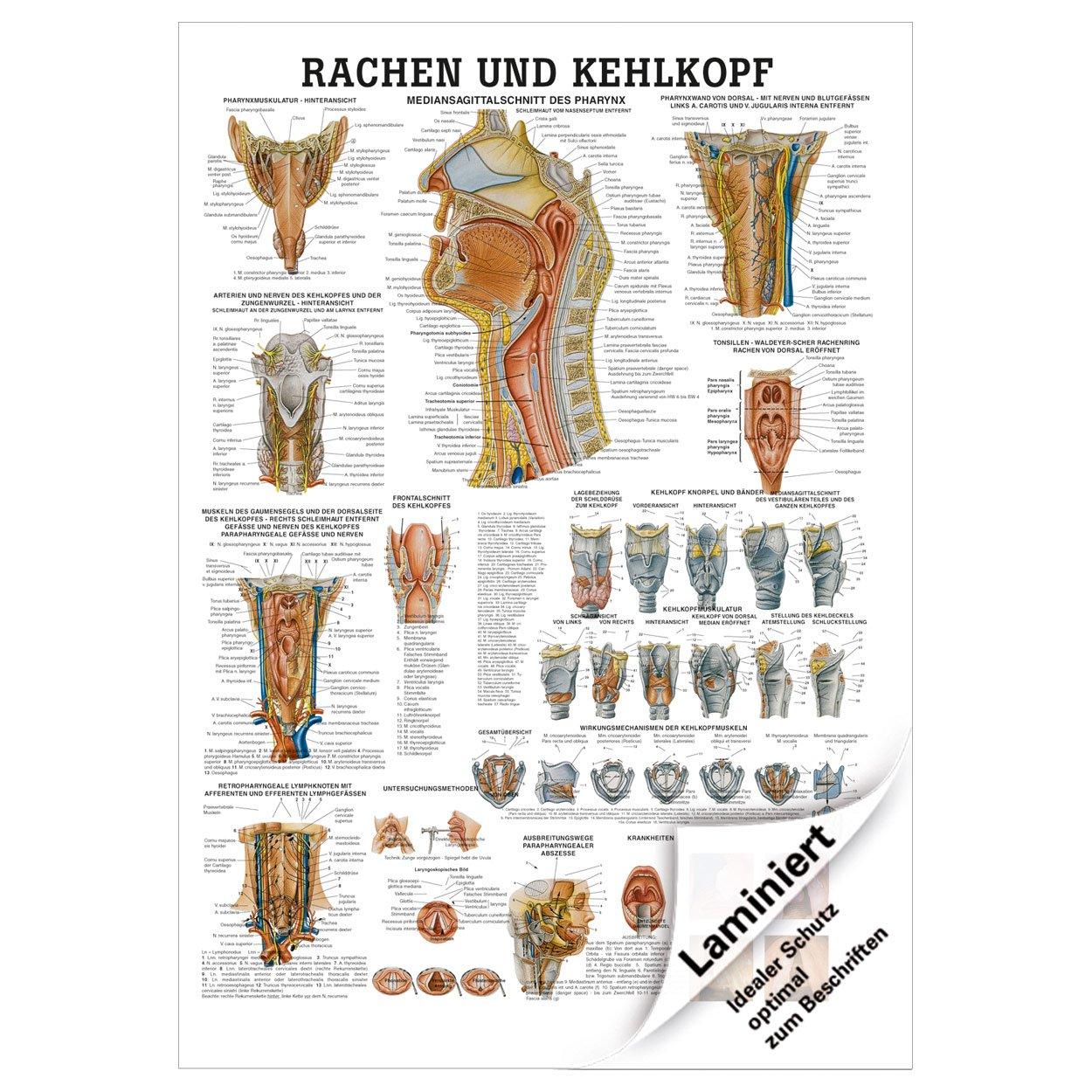 Tolle Herzvene Anatomie Galerie - Physiologie Von Menschlichen ...