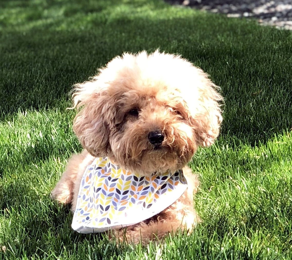 Paws n' Play 4 Piece Fun Bright Color Snap-On Pet Dog Bandana Triangle Scarf Bibs - Accessories for Dogs, Puppy, Cats - Small/Medium, Soft Cotton (Dewshine Poppy) by Paws n' Play (Image #5)