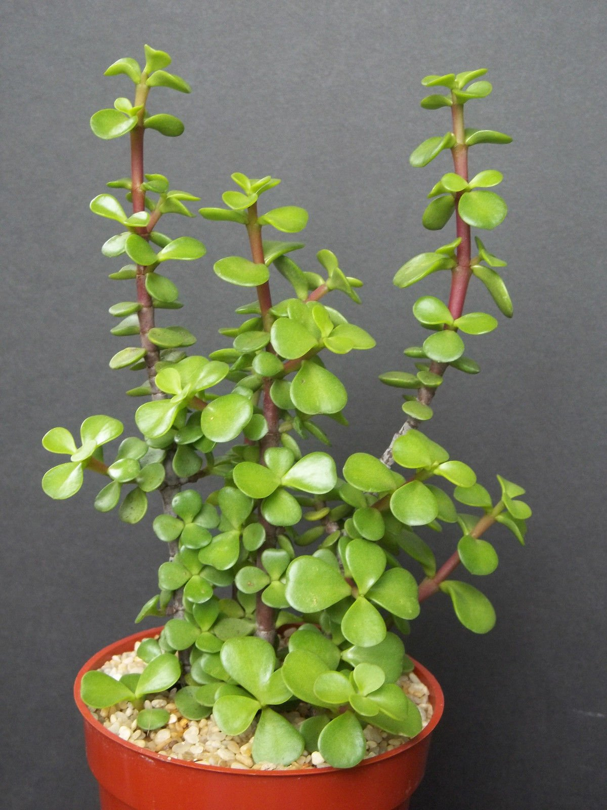 PORTUCALARIA AFFRA Green rare elephant bush mini jade tree bonsai 4'' plant by exotic_cactus_collection