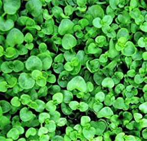 100 Corsican Mint Mentha Requienii Herb Fragrant Ground Cover Flower Seeds + Gift