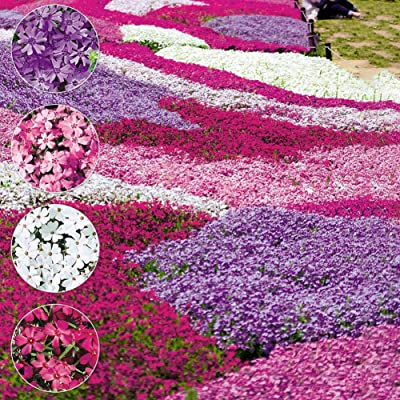 LOadSEcr's Garden 100Pcs Mixed Color Phlox Paniculata Seeds Non-GMO Ornamental Plants Yard Office Decoration, Open Pollinated Seeds - Phlox Paniculata Seeds : Garden & Outdoor