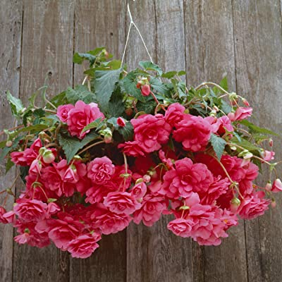 "Amerihybrid Tuberous Begonia Hanging Basket Pink Profusion - 3 Big Bulbs - 4"" Blooms - Pink Trailing Blooms 
